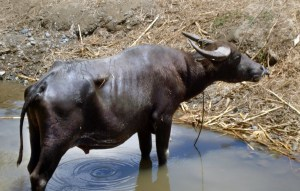 Carabao in water