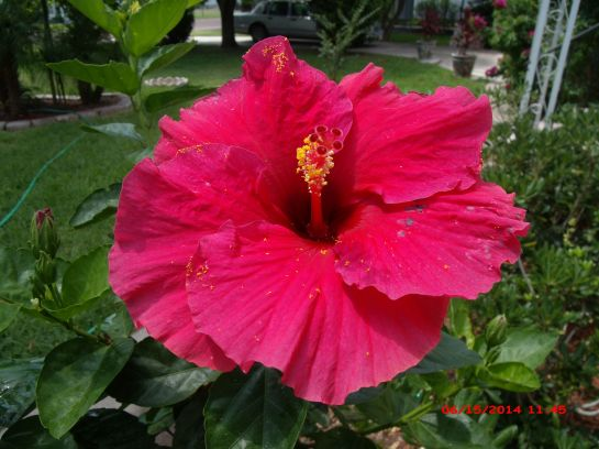 large single dark pink Hibiscus flower