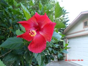 single red-orange Hibiscus flower