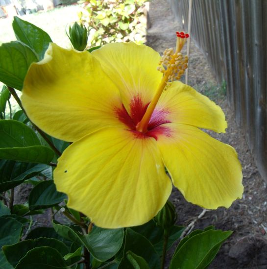 single yellow Hibiscus flowerwith a dark red center