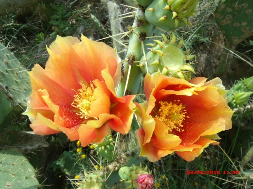 Apricot-Orange Cactus Flowers